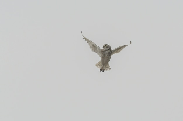 Isolated shot of an owl maneuvring Free Photo
