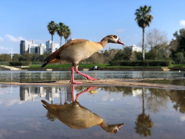 Израиль, тель-авив, утка в яркон парке Premium Фотографии