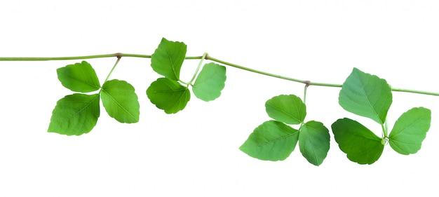 Ivy isolated on white Premium Photo