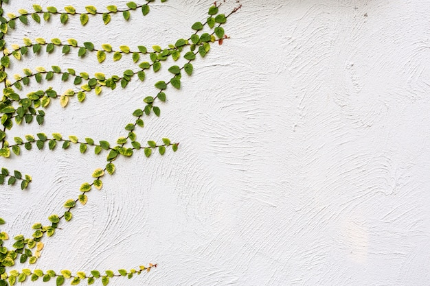 Ivy leaves isolated on wall background Premium Photo