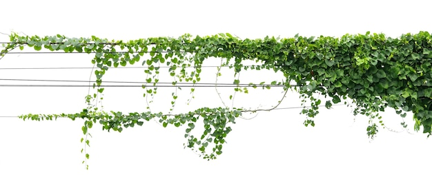 Ivy plant hanging on electric wire isolate on white background Premium Photo