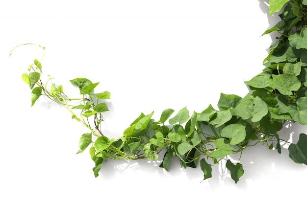 Ivy plant isolate on white Premium Photo