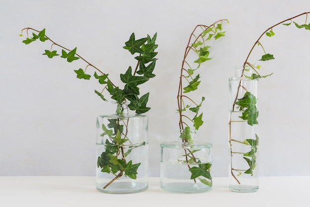 Ivy in three different types on glass vase against white background Free Photo