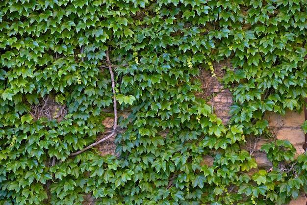 Ivy wall Free Photo