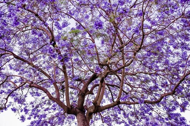 Jacaranda Tree Of Purple Flower Photo Free Download