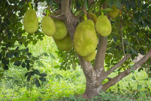 熱帯果樹園の木にぶら下がっているジャックフルーツ Premium写真