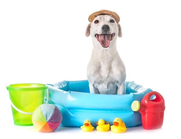 Jack russel terrier Premium Photo