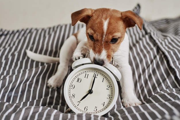 Jack russell terrier dog nibbles vintage alarm clock in bed. wake up and morning concept Premium Photo