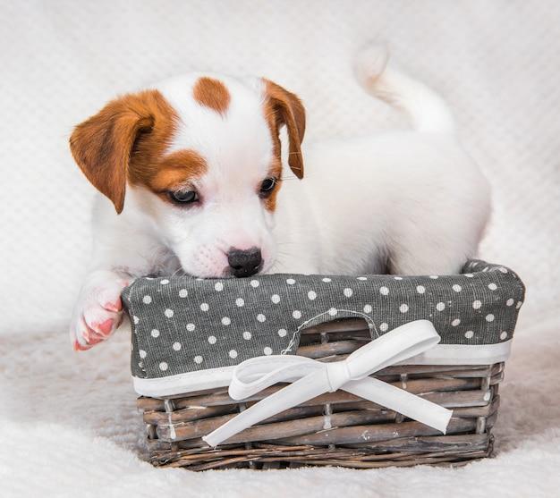 バスケットの中のジャックラッセルテリア犬の子犬。 Premium写真