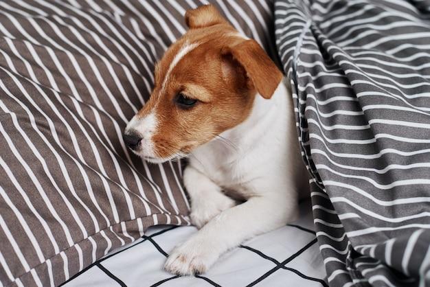 ベッドの毛布の下のジャックラッセルテリア犬 Premium写真
