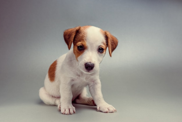 Jack russell terrier puppy sitting Premium Photo