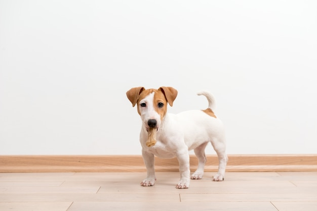Jack russell terrier puppy Free Photo