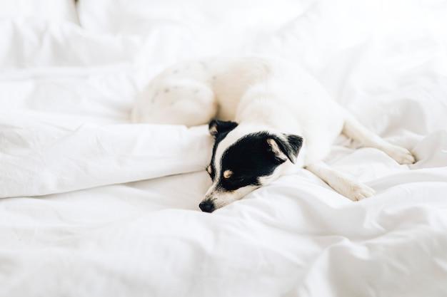 Джек-рассел-терьер спит в белой кровати Бесплатные Фотографии