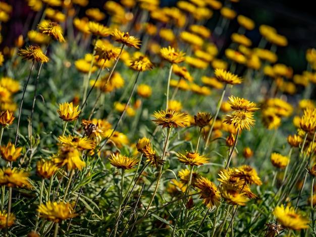 Сад jacobaea vulgaris, окруженный травой Бесплатные Фотографии
