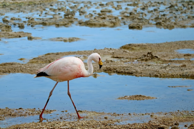 James flamingo walking in the shallow water of laguna hedionda Premium Photo