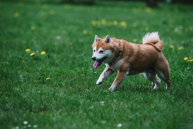 芝生の上を走るジャパニーズ犬柴犬 Premium写真