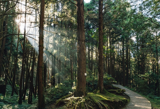 Japanese cedar trees in the forest with through sunlight ray in alishan national forest recreation area in chiayi county, alishan township, taiwan. Premium Photo