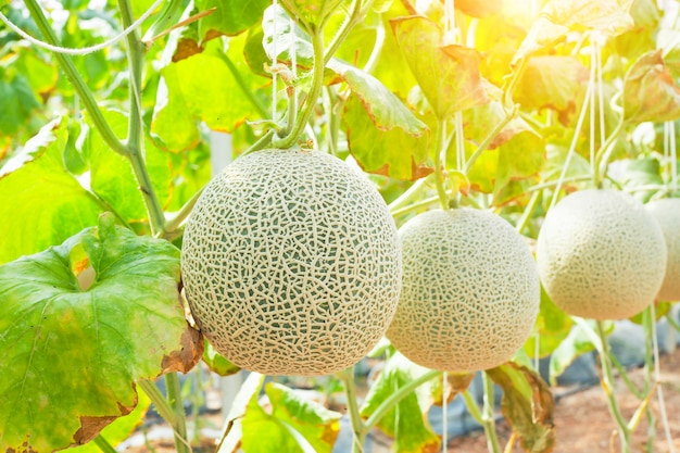 Premium Photo Japanese Green Cantaloupe Fresh Melon On Tree In Garden Selective Focus It also promotes healthy lungs and relieves stress. https www freepik com profile preagreement getstarted 3917756
