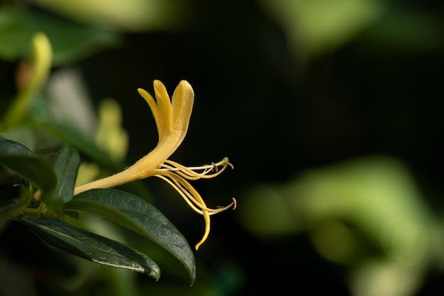 自然に咲くスイカズラまたはスイカズラの花。 Premium写真