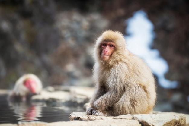 Japanese snow monkey near hot spring Premium Photo
