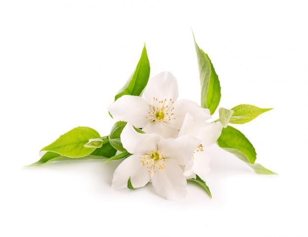 Цветы жасмина, изолированные на белом фоне Premium Фотографии