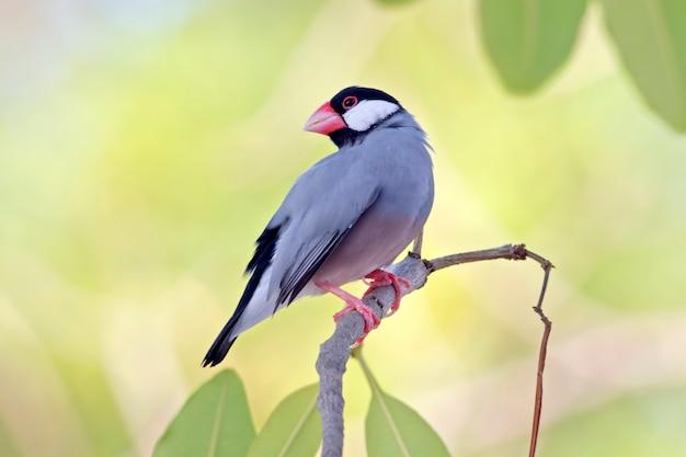 Java sparrow java finch lonchura oryzivora beautiful birds