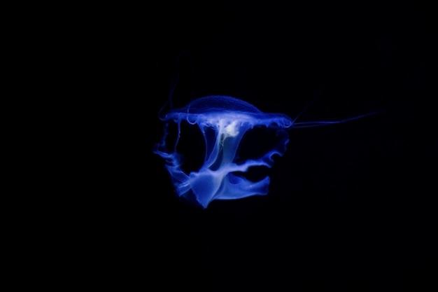 Jellyfish under water, medusa, sea animal in water, blue color Premium Photo
