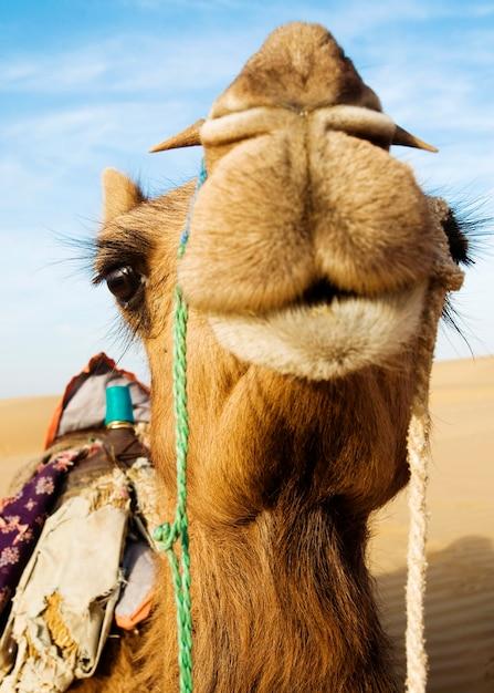 Johnie the camel in the thar desert, rajasthan, india Premium Photo