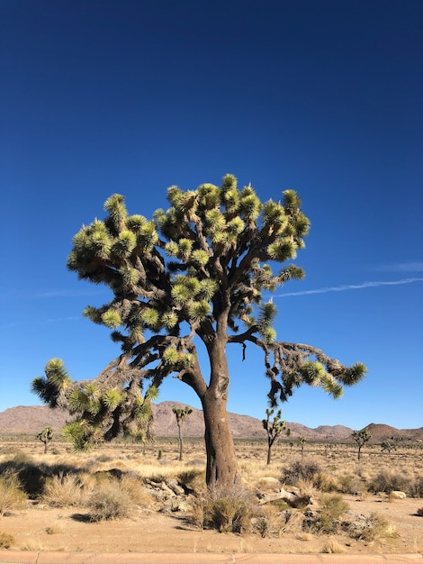 Joshua tree in the joshua tree national park, usa Free Photo