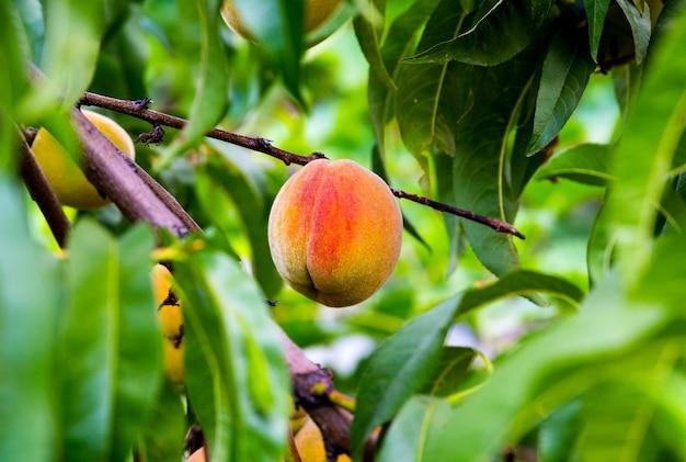 庭で育ったジューシーな桃 Premium写真