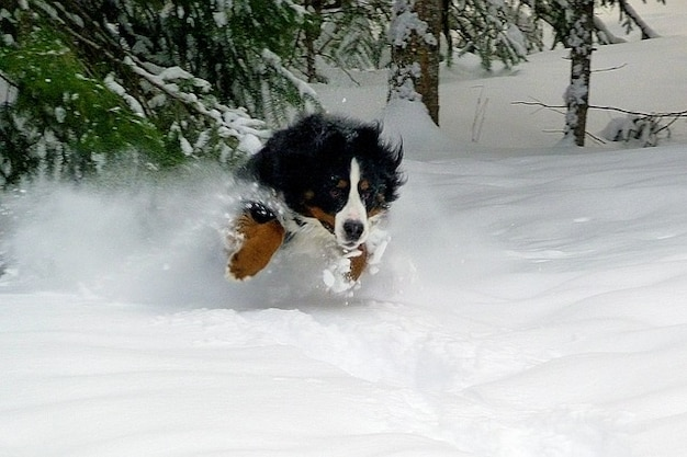 Jumping dog winter bernese mountain cold snow Free Photo