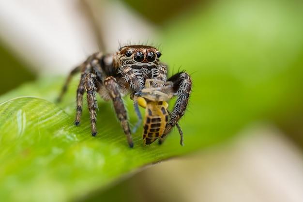 草の葉の上に座っているハエトリグモ(ハエトリグモ科) Premium写真