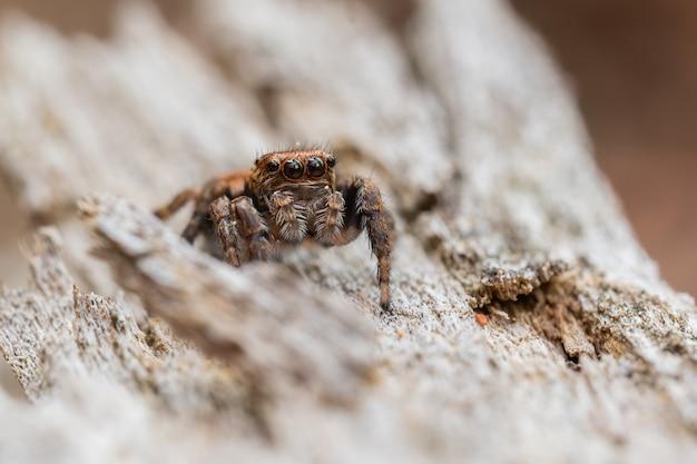 木の幹に座っているハエトリグモ(ハエトリグモ科) Premium写真