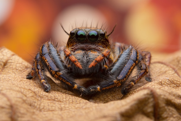 Jumping spider Free Photo