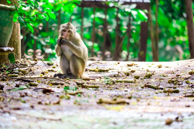 Jungle monkey is eating lace and fruit falling on the floor Premium Photo