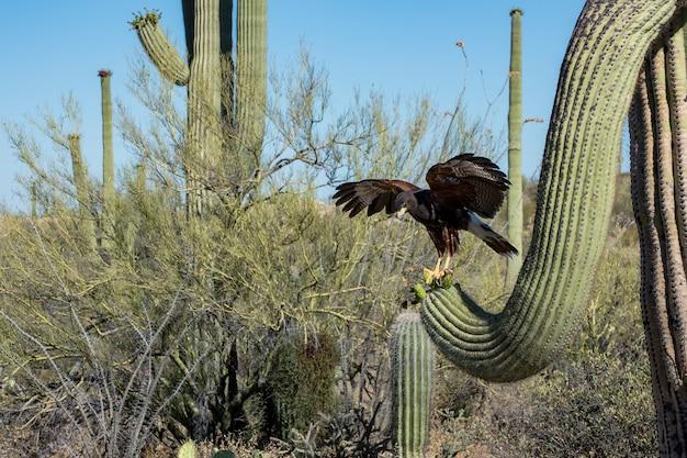 Juvenile harris's hawk landing on a saguaro with wings spread Premium Photo