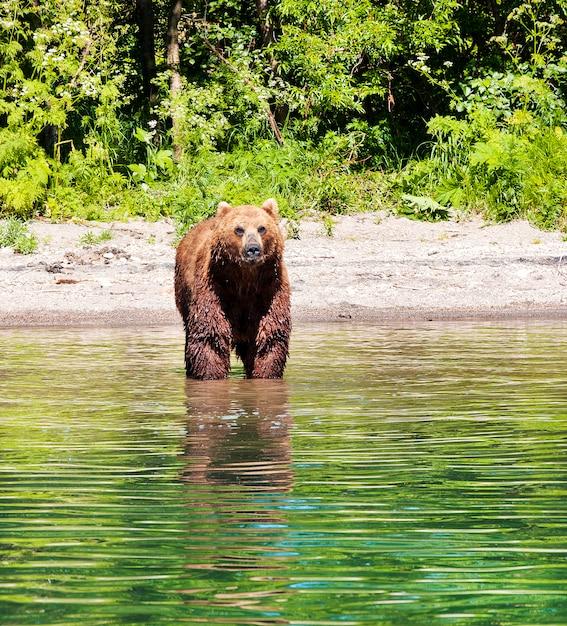 Kamchatka brown bear on the lake in summer Premium Photo
