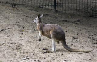 Kangaroo, creature Free Photo