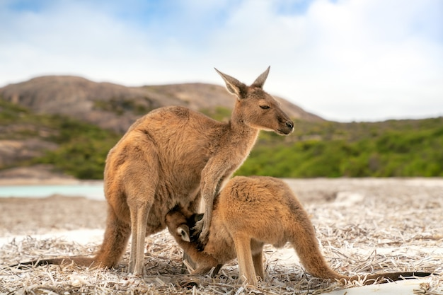 Kangaroo family at lucky bay in the cape le grand national park near esperance Premium Photo