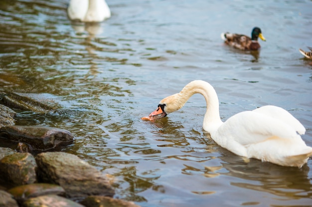背景にプラハ川ヴルタヴァ川とカレル橋の美しい白鳥。 karluv mostと白鳥 Premium写真