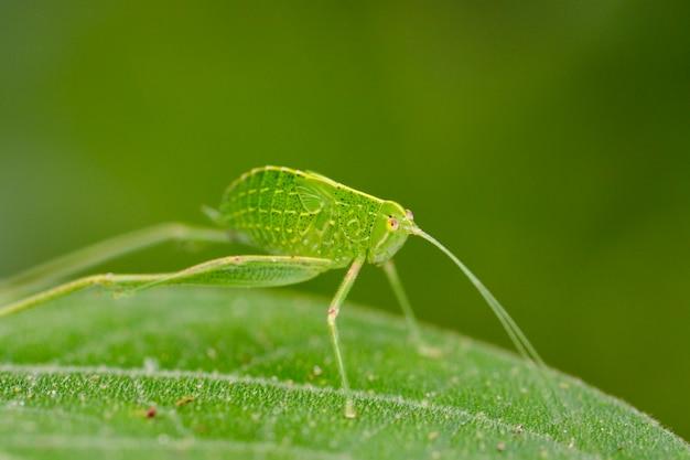 Katydid нимфа кузнечик на зеленый лист Premium Фотографии
