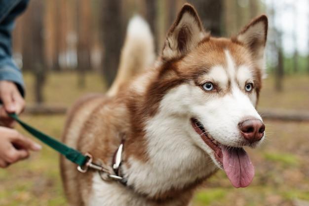 개를 끈에 묶어 두십시오. 개가 숲속을 걷고있다. 허스키 개. 브라운 허스키. 프리미엄 사진