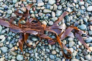 Kelp and beach rocks  surface Free Photo