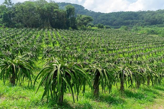 Kenny dragon fruit tree farm at thailand country landscape Free Photo