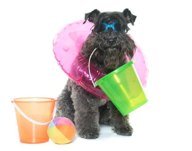 Kerry blue terrier in summer Premium Photo
