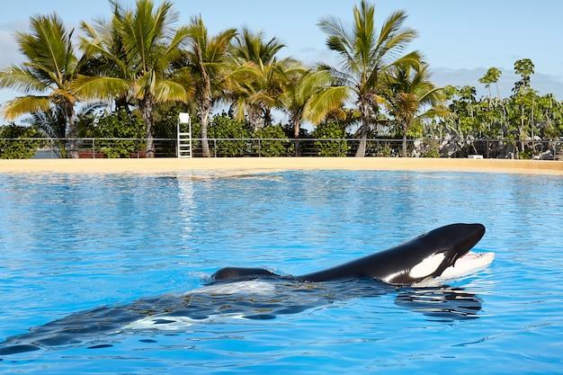 シャチ(orcinus orca)。 Premium写真