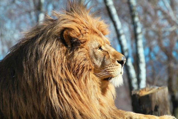 King lion in the zoo safari Premium Photo