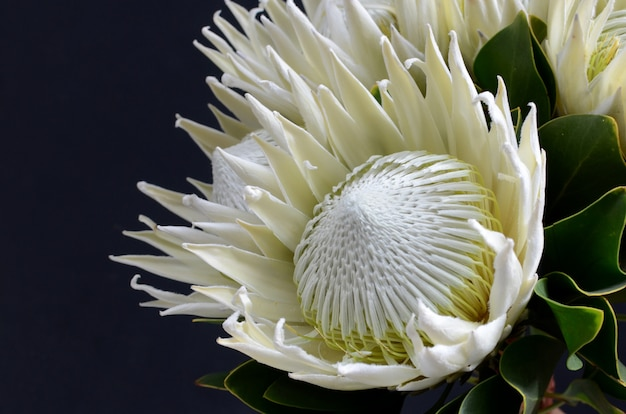 King protea flower bunch on a black isolated background. closeup. for design. nature. Premium Photo