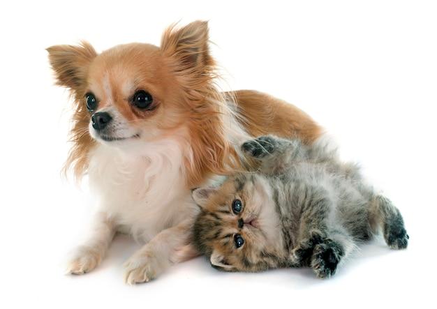 Kitten exotic shorthair and chihuahua Premium Photo