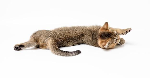 子猫の金色のカチカチ音をたてるイギリスのチンチラは、白い背景の上にまっすぐ。猫の嘘 Premium写真